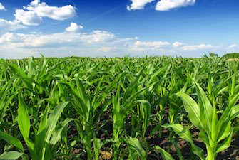 corn-field-farm-agriculture-335