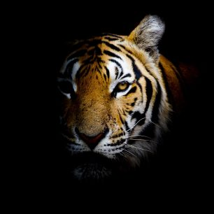 https://depositphotos.com/65127259/stock-photo-tiger-background.html