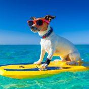 https://depositphotos.com/54663119/stock-photo-surfer-dog.html