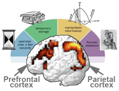 working-memory-and-brain-function