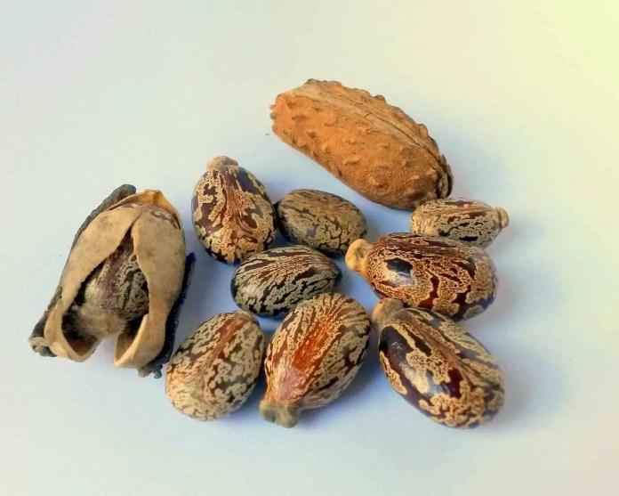 Semințe de ricin