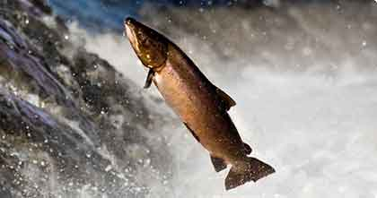 atlantic salmon ird raptor life project