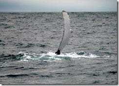 Humpback whales exhibit a wide range of behaviour – this one is slapping the water with an enormous pectoral fin