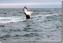 Fluke or tail slapping is another of the humpback whale's common behaviour patterns.