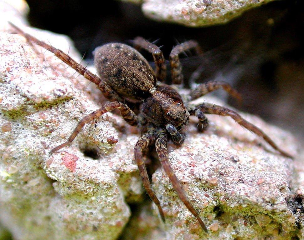 Wolf Spider (Pardosa amentata) | Ireland's Wildlife