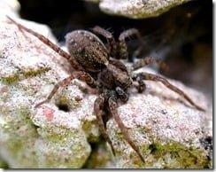 Wolf Spider (Pardosa amentata)