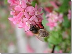 A honey bee collects nectar from a flower and picks up a payload of pollen in the process