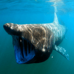 Basking sharks dominating recent sightings says IWDG