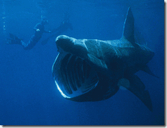 Basking Shark (Cetorhinus maximus) filter feeding -- image via Wikipedia