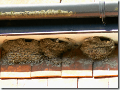 House martins need mud to build their nests