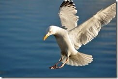 Herring Gull (Larus argentatus) coming in to land