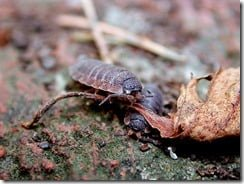 Common rough wood lice (Porcellio scaber) in leaf litter