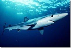 Blue Shark (Prionace glauca)