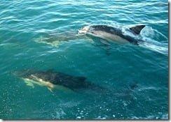 Common Dolphins (Delphinus delphis) visit Cork City, Ireland
