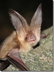 Brown Long Eared Bat (Plecotus auritus)