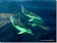 Common Dolphin (2)