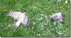 Sparrowhawk poisoned using live bait