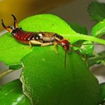 Common Earwig (Forficula auricularia)