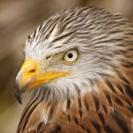 Red kites found poisoned in Lusk