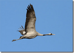 Long gone! The Eurasian Crane is extinct as a breeding species in Ireland