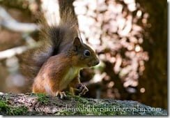 Irish Red Squirrel