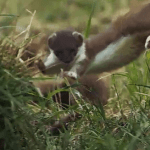 """Stoat leaping on the BBC """"Nature: Behind the scenes"""" video."""