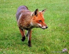 Fox on the prowl