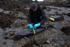Measuring a stranded harbour porpoise for the IWDG Stranding scheme
