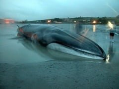 Fin whale stranded at Courtmacsherry, West Cork in January 2009