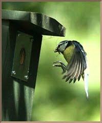 blue tit nest box