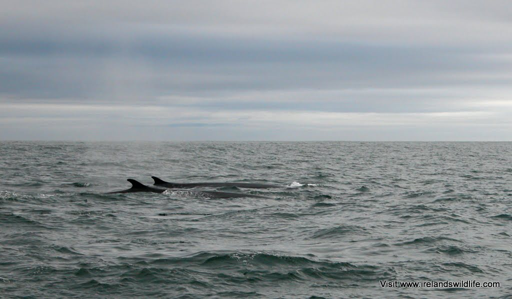 Two fin whales on the surface in West Cork