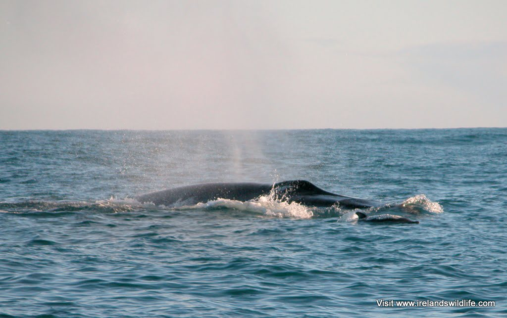 Common dolphin bow riding a surfacing fin whale off West Cork, Ireland