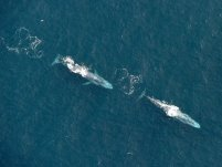 Blue Whales photographed in Ireland
