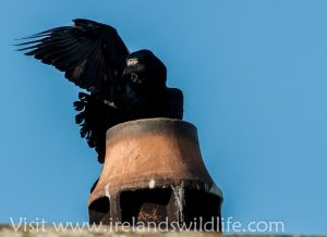 Rook on Chimney
