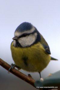 Blue Tit (Parus caeruleus) in Ireland