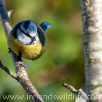 The blue tit -- one of the most striking of our common garden birds