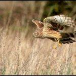 Irish Hen Harrier Shot in Co. Kerry