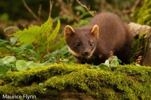 Irish pine marten populations recovering
