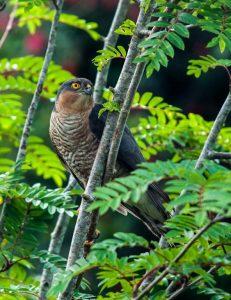Sparrowhawk... a common Irish raptor