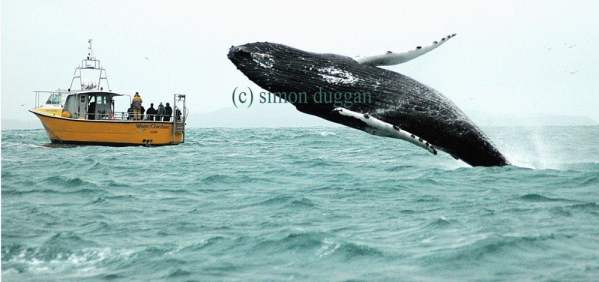 A humpback whale breaches alongside a boat in West Cork (c) Simon Duggan