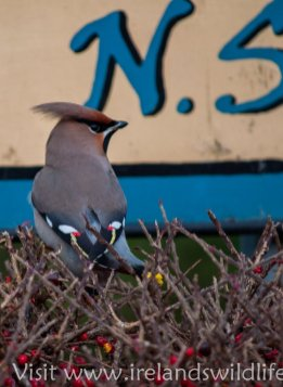 Waxwings (11 of 11)