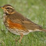 Know your Winter Thrushes: Fieldfare and Redwing ID from the BTO