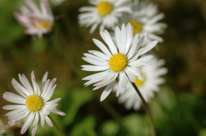 Common Daisy (Bellis perennis) by Nuuuuuuuuuuul via Flickr