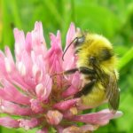 Great yellow bumblebee_almost extinct Ire_Dara Stanley