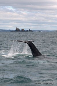 A humpback whales off the west cork coast in April 2012