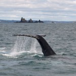 New humpback whale for Ireland spotted off West Cork