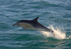 Common dolphins risk bycatch in fishing gear