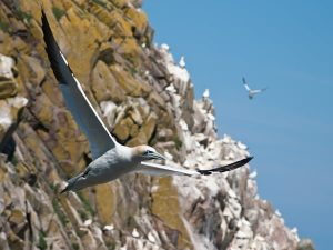 Gannet breeding colony