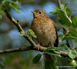 Fledgling robin in Irish garden