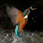 Kingfisher, Secret Life of the Shannon